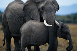 Animal Protection Elephants